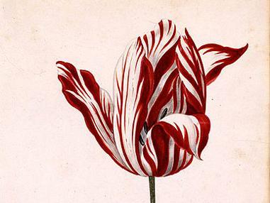 381px-Semper_Augustus_Tulip_17th_century